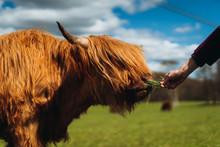 Highland Cattle Eating Grass