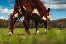 Cow Walking Away