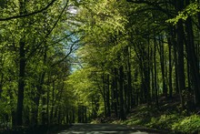 Beech Forest And A Road