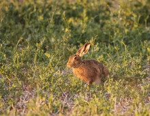 This Hare Is Feeding Just Befo...