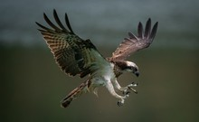 Amazing Picture Of An Osprey Or Sea Hawk Trying To Hunt
