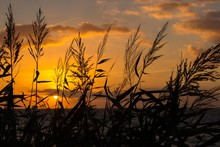 Close-up Of Reeds With Sunset View Over Sea