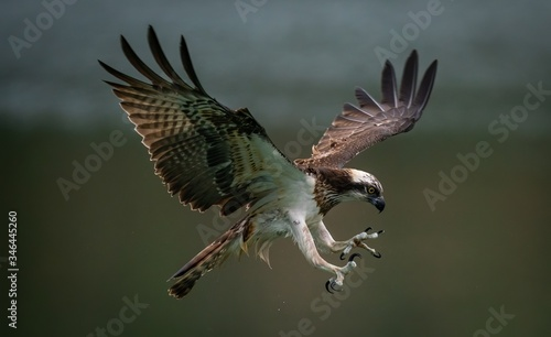 Photo Amazing picture of an osprey or sea hawk trying to hunt