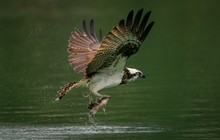 Amazing Picture Of An Osprey O...