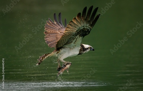 Obraz na plátně Amazing picture of an osprey or sea hawk hunting a fish from the water