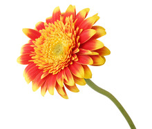 Beautiful Gerbera (Daisy) In Yellow And Red Color, Isolated On White Background..