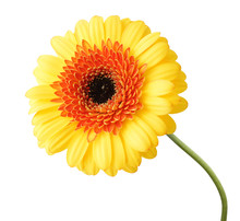 Beautiful Gerbera (Daisy) In Yellow Color, Isolated On White Background.