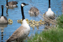 Canada Geese With Goslings Swimming In Lake