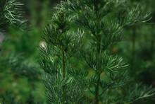 Green Branch Of A Prickly Bush. Decorative Bright Green Shrub In The Garden.