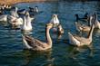 Ptactwo pływające blisko siebie na powierzchni wody.