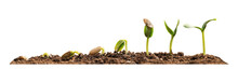 Stages Of Growing Seedling In Soil On White Background. Banner Design