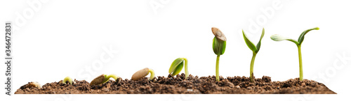 Stages of growing seedling in soil on white background Canvas