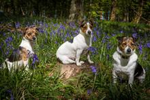 Jack Russell Terrier Family Po...