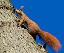 Low Angle View Of Squirrel On Tree Against Clear Blue Sky