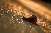 Brown Snail Crawling On A Plas...