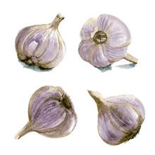 Set Of Garlic. Hand Drawn Wate...