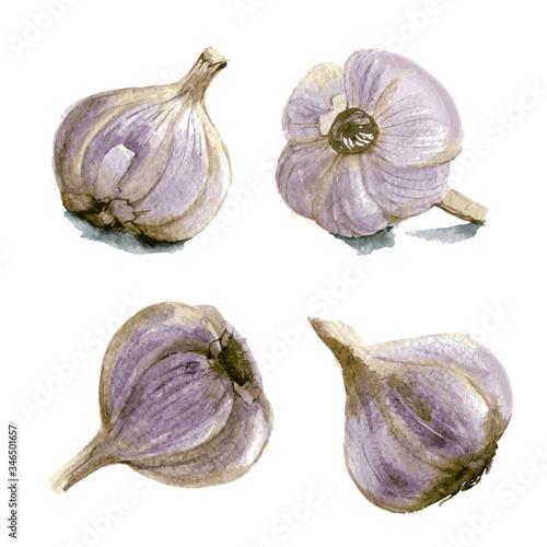 Set of garlic. Hand drawn watercolor illustration. Vector Canvas Print
