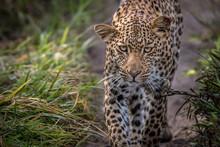 Close-up Portrait Of Leopard W...