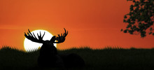 A Bull Elk Silhouetted Sits On...