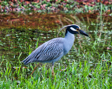 Yellow Crowned Night Heron In A Florida Pond