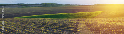 Fototapeta corn seedlings on a large, agricultural field obraz