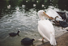 Pelican With Coots In Lake