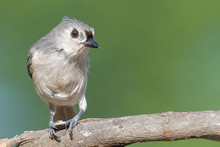 Tufted Titmouse Perched Eating...