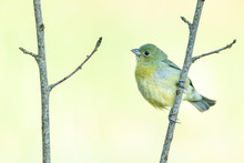 Female Painted Bunting Perched On A Branch