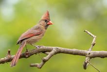 Cardinal Female Perched