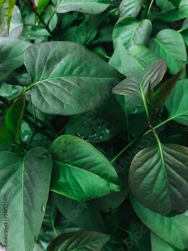 Fototapeta Fresh clean green leaves after rain. Raindrops, wet greens. Selective focus, film and grain photo. Mobile photography obraz na płótnie