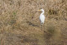 The Great Egret - Ardea Alba