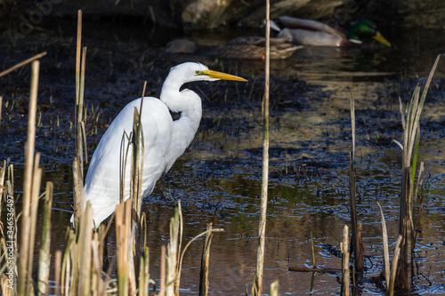 Photo The great egret - Ardea alba