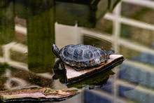 Small Turtle Resting On A Sing...