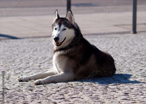 Photo View Of Alaskan Malamute Dog