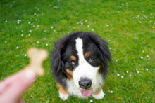 Obedience Training With Bernese Mountain Dog In The Park