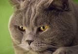 Fototapeta Zwierzęta - Kot Brytyjski niebieski, zwierzę domowe, pupil