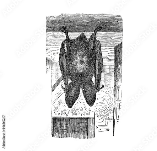 Illustration of a Long-eared Bat hunting in popular encyclopedia from 1890