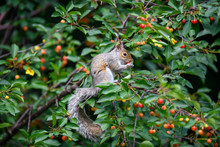 Grey Squirrel Eating Cherry In...