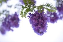 Low Angle View Of Purple Jacar...