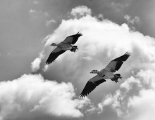 Pair Of Egyptian Geese Are Soa...