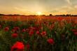 Red Poppy Flower In Field