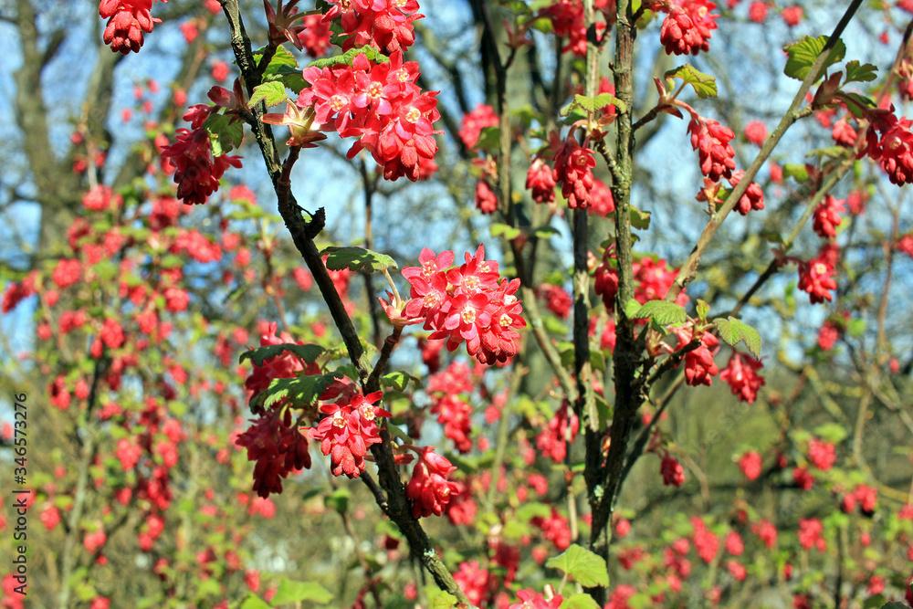 Fototapeta Ribes sanguineum