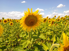 Beautiful Sunflowers In The Fi...