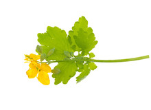 Greater Celandine Or Tetterwort (Chelidonium Majus) Isolated On White Background. Medicinal Plant With Yellow Flowers And Green Leaves.