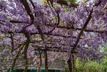 Blooming Wisteria On A Wooden ...