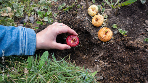 Fotografía Planting sprouted bulbs or corms of gladiolus in open ground on a garden bed in early spring