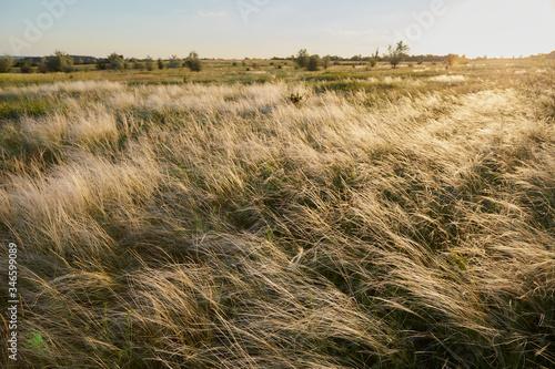 Cuadros en Lienzo Yellow golden tussock grass of New Zealand in wind