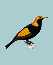 Regent Bowerbird (Sericulus Ch...