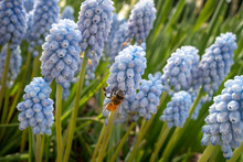 A Honey Bee On A Grape Hyacinth Light Blue Purple Blooming Flowers In A Garden