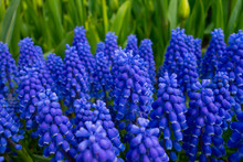 Grape Hyacinth Blue Purple Blo...